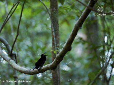 cenderawasih-magnificent-rifflebird